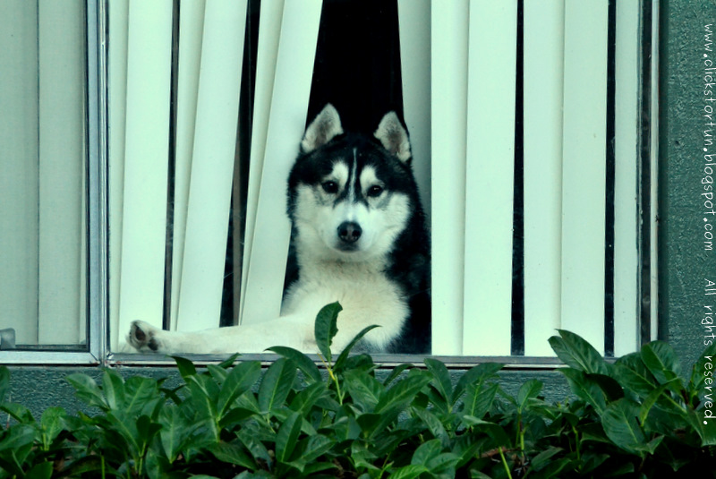 Siberian Husky Curious Window Peeping Animals Dogs Breeds Photoblogging Photos Photography Blogger