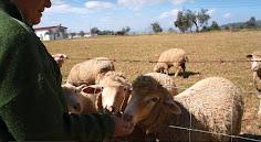 A las ovejas les gusta el pan