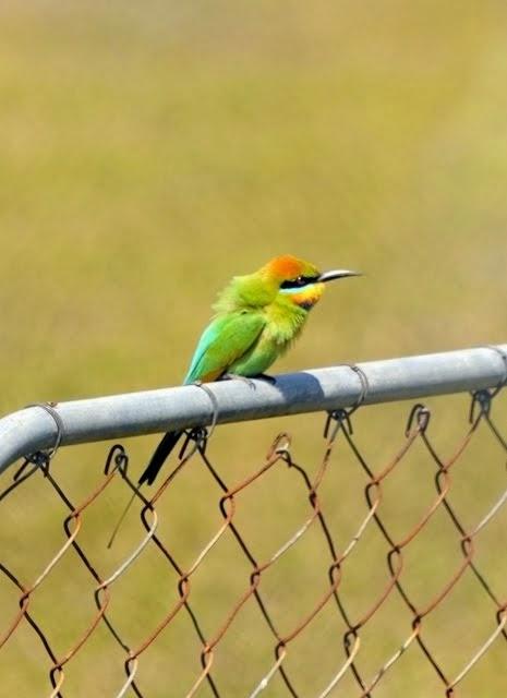 Rainbow Bee-eater 004