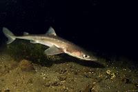 Spiny Dogfish - Squalus Acanthias