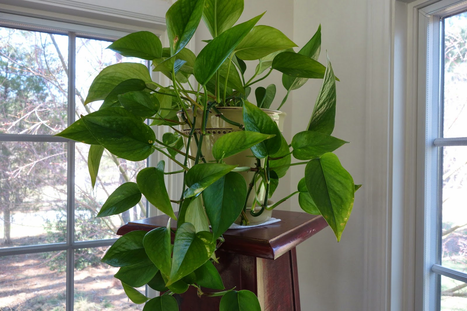 Pictures of vining house plants house pictures - House plants vines ...