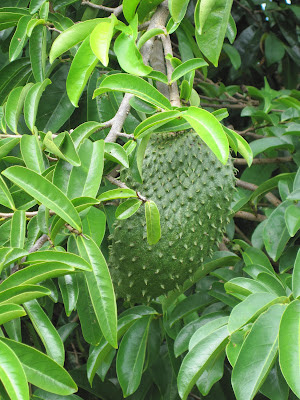 daun sirsak dan banyak sekali manfaat dari daun sirsak ini