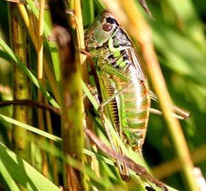 Roesel's Bush Cricket