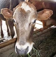 harga sapi qurban kurban kambing 2013 aa