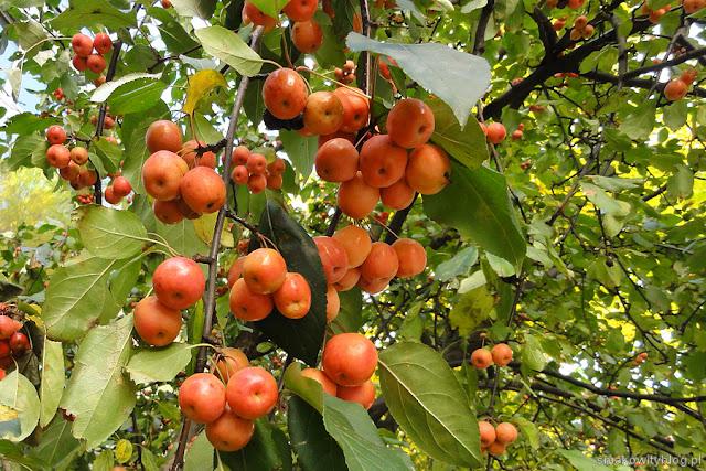Rajskie jabłka
