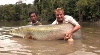 Ikan Air Tawar Terbesar di Dunia di Tangkap - Ikan Arapaima