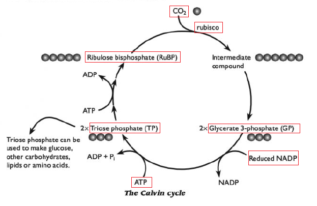 103 The Light Independent Reactions Calvin Cycle Biology Notes