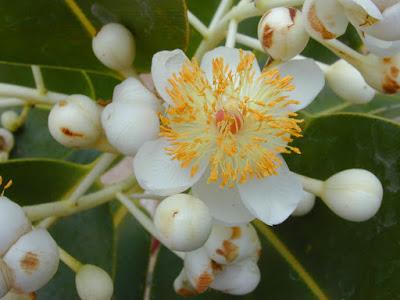 Tamanu Nut Tree (Calophyllum Inophyllum) Overview, Health Benefits, Side effects
