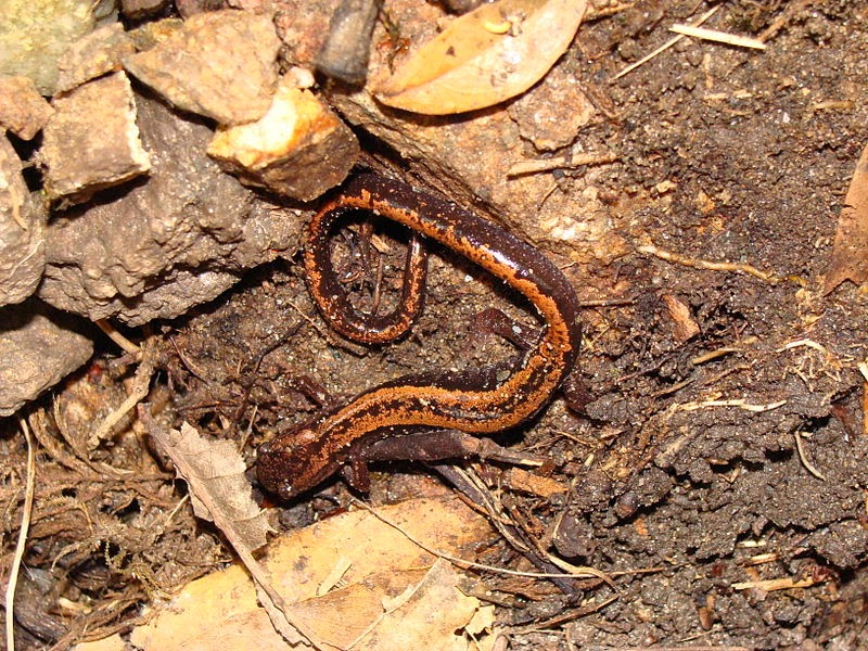 Características, alimentação, reprodução e distribuição da Salamandra lusitânica (Chioglossa lusitanica).
