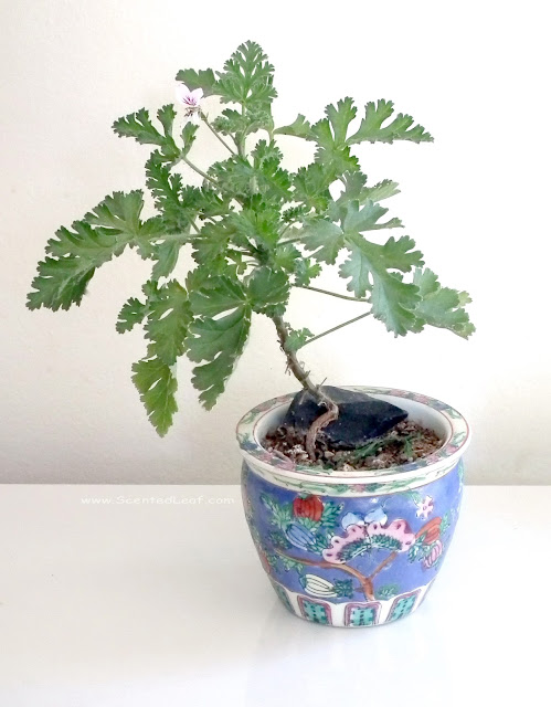 Pelargonium myrrhifolium var myrrhifolium bonsai