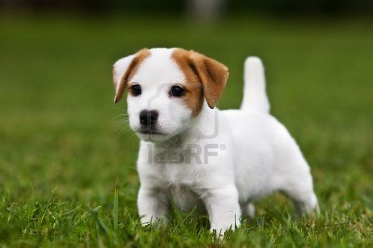 Jack Russell Terrier Puppy HD wallpaper