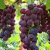 Buah Anggur untuk Kesehatan, Kecantikan dan Kelangsingan Tubuh