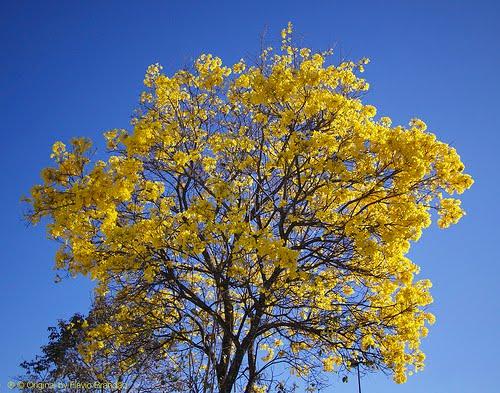 Árvore do mês de Agosto