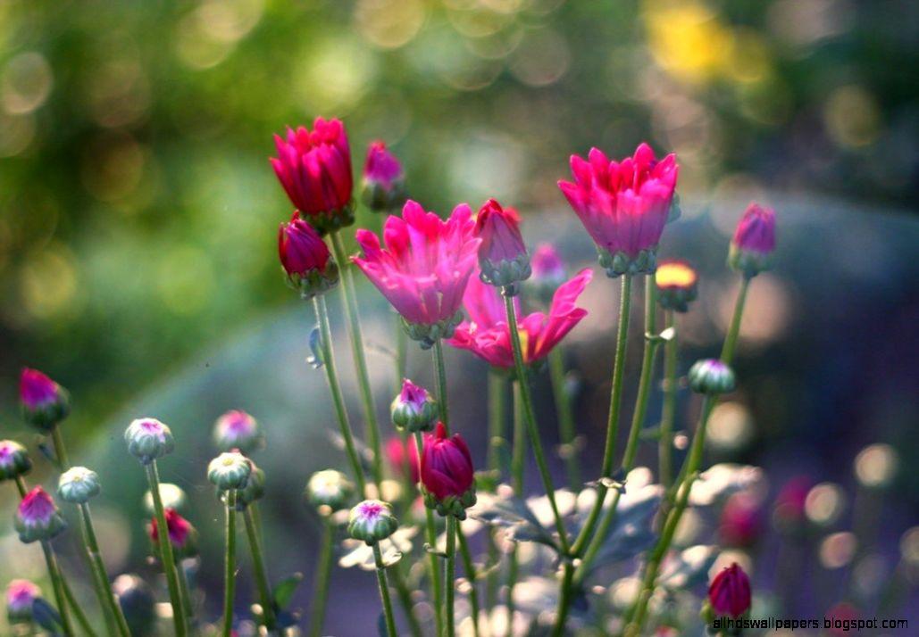 Flowers Spring Flowers Bokeh Summer Blooming Nature Free Desktop