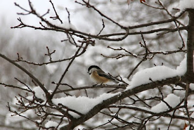 Chickadee perched amidst snow and oak buds