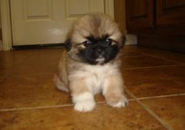 cute pekingese puppies photos