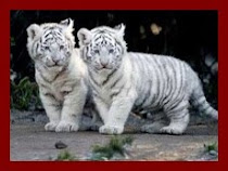 Tigre branco, o meu preferido