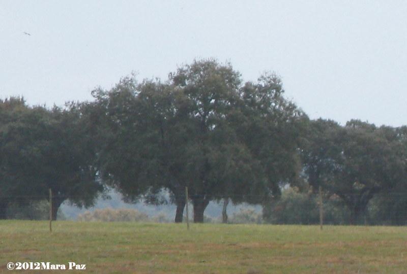 Cork oaks, Alentejo