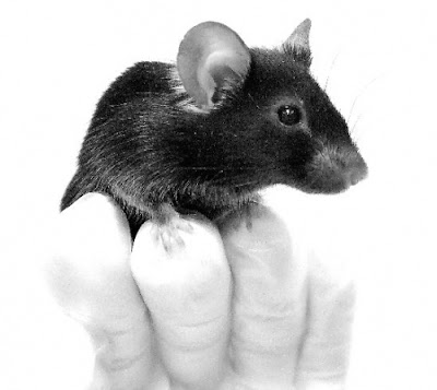 日本 基因改造 唱歌老鼠