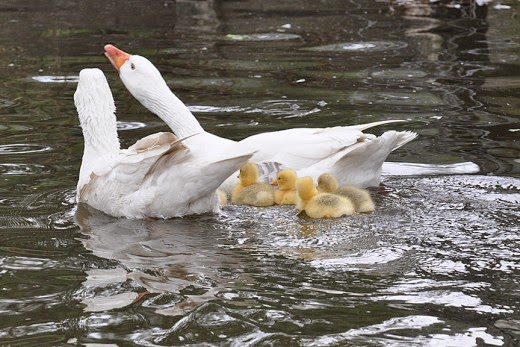 Adult Embden Geese and Goslings on Bingley Canal