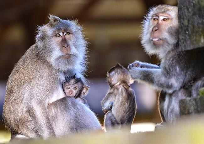 Hutan monyet Alas kedaton - hutan kera - monkey forest - obyek wisata