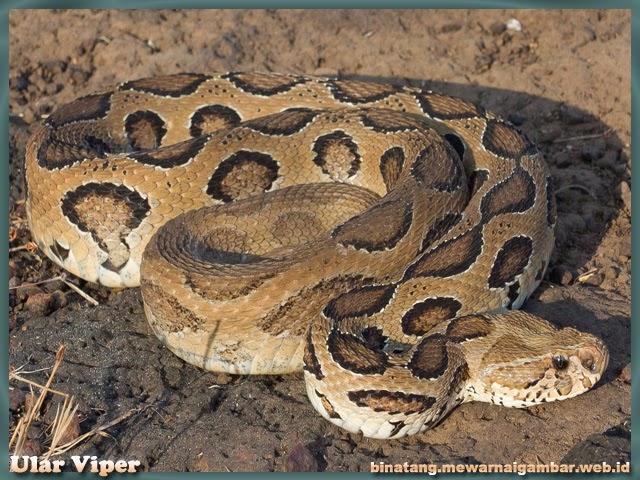 Gambar Ular Viper