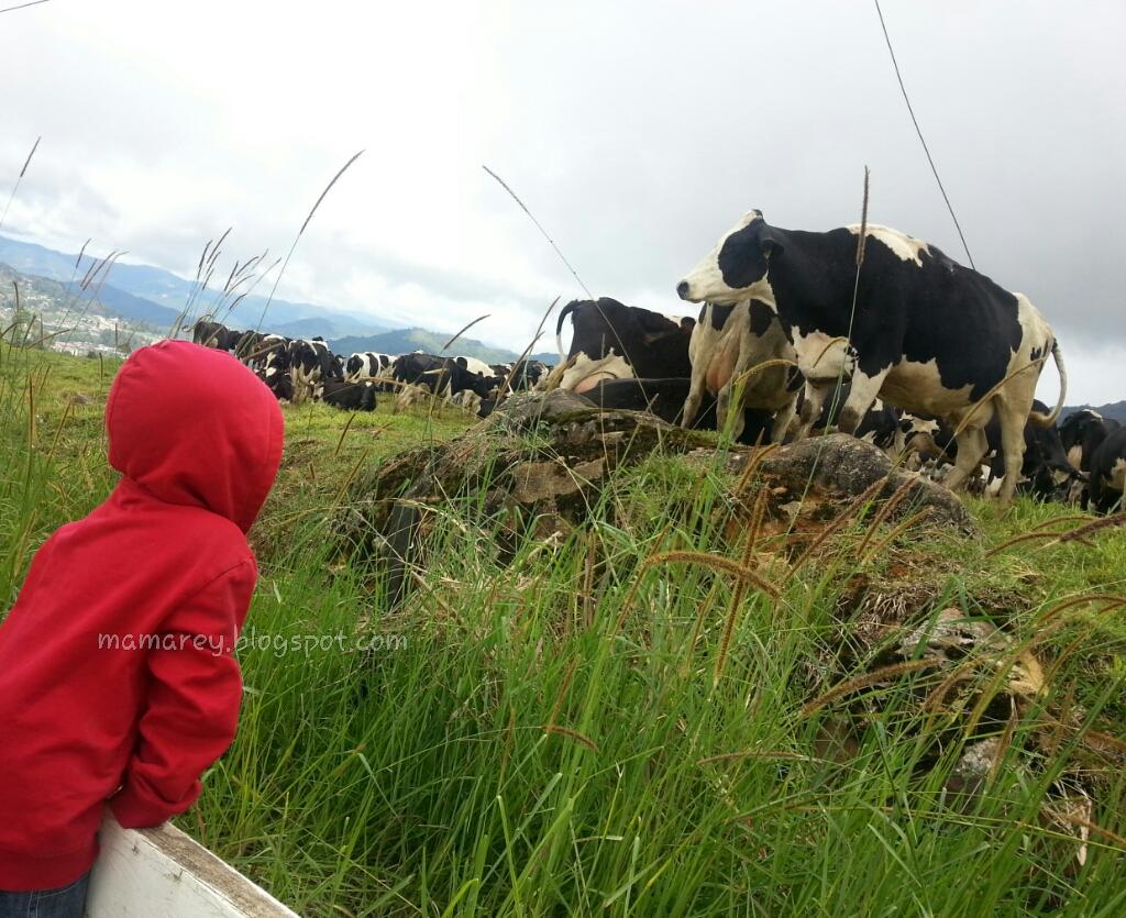 Desa Cattle ,Mesilau,Kundasang