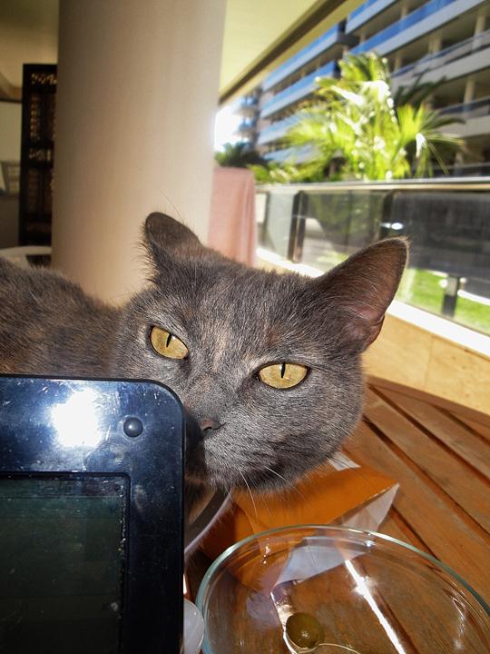 Cat from Talamanca, Ibiza