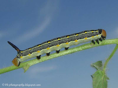 Yellow and black caterpillar