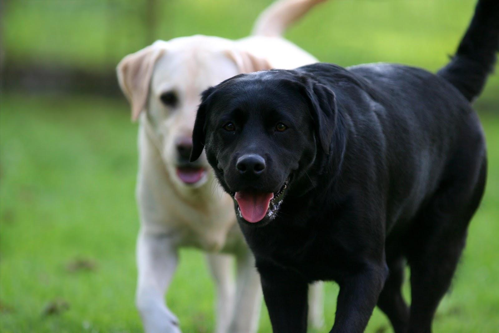 Labrador Retriever | Puppy Love & Me