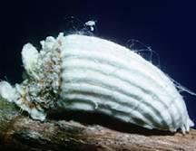 Insecto escama algodonoso