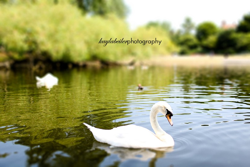 swans in london parks photo