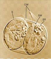 Hình 1: Vách kén hợp tử (OW). Hai nang bào tử chiếm hầu hết kén hợp tử. Mỗi nang có một bức tường mỏng (SW), bốn thoi trùng(S), và một thể dư sporocystic (SR).