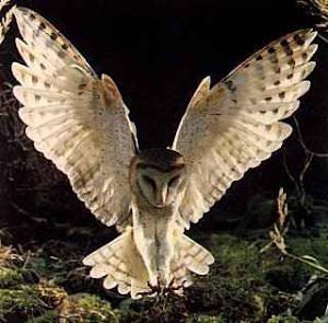 a coruja de  minerva sai para voar