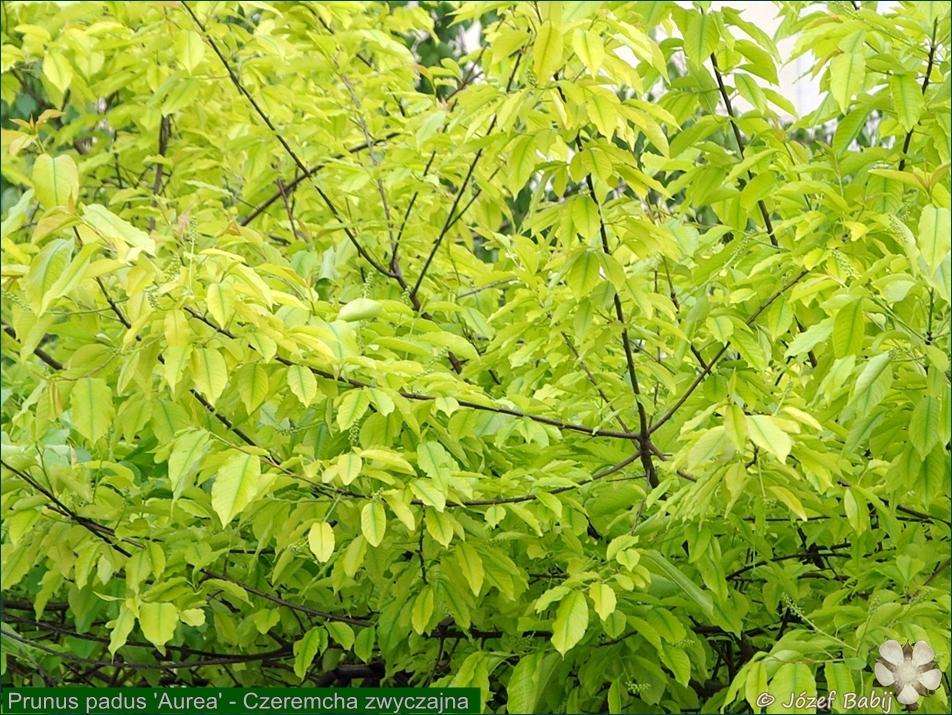 Prunus padus 'Aurea' - Czeremcha zwyczajna liście
