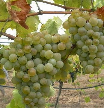 Amber valley wines know the grapes we grow pheonix - Table grapes vs wine grapes ...