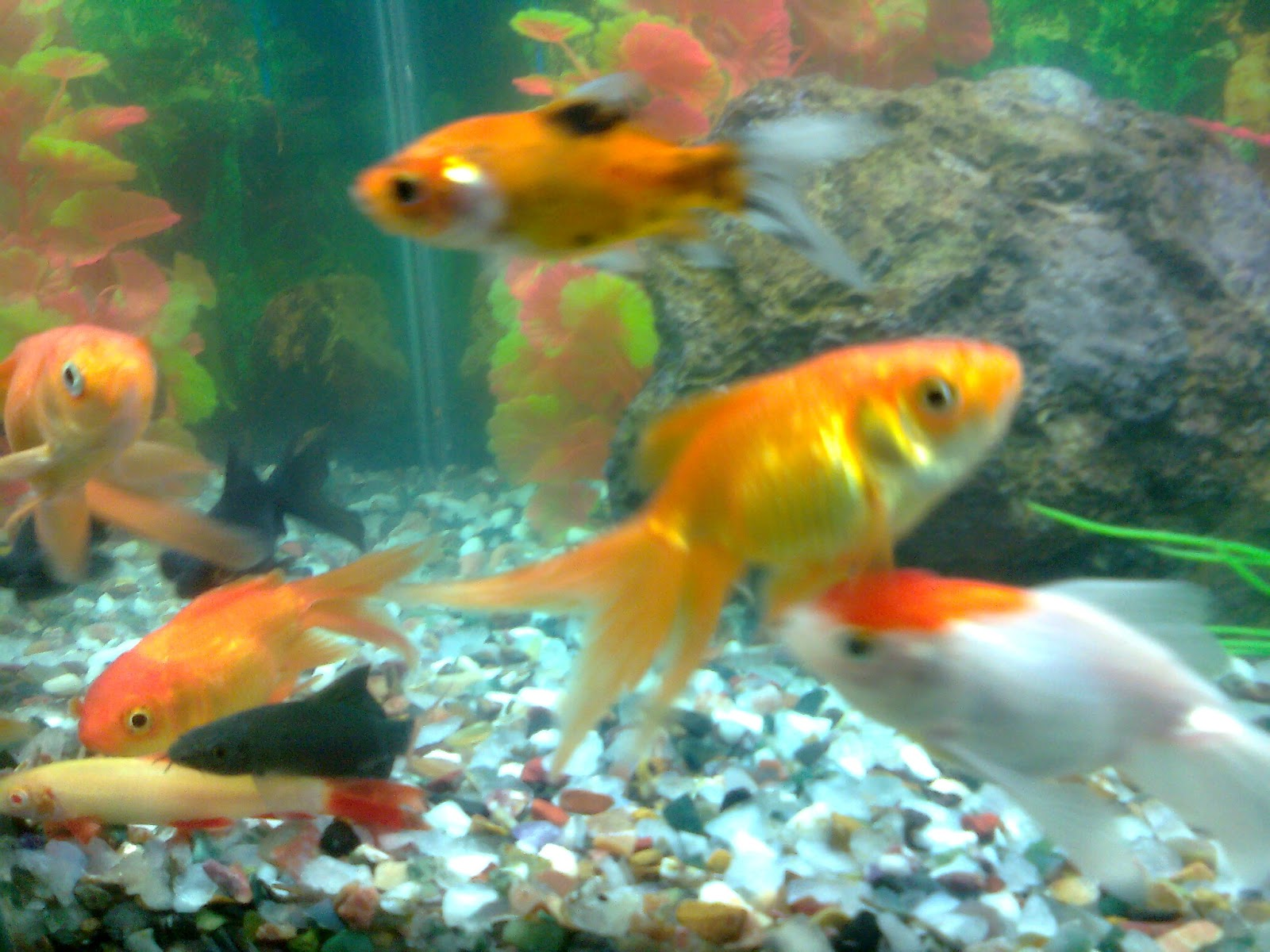 Pet shop ahmedabad gold fish aquarium for Fish tank for goldfish