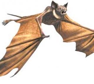 Murciélago volando