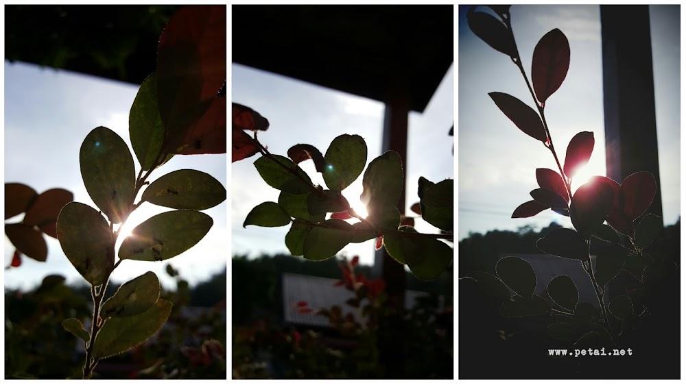 Mengintai suria dari balik daun