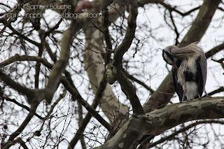 héron cendré dans les arbres en train de faire ses plumes