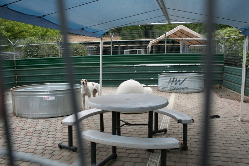 large fenced area of maybe 20 feet by 20 feet, with picnic table, two large metal troughs for swimming I guess, dogloo, and a white and tan greyhound type dog standing in the center