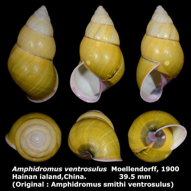 Amphidromus ventrosulus 39.5mm