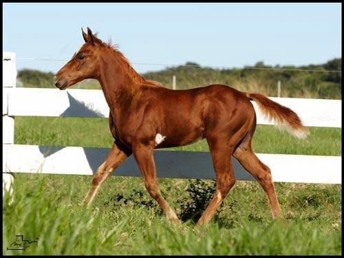 Fazenda Santa Helena Quarto De Milha ~ CRE FAZENDA GONZAGA 4? Leil?o de Cavalos Quarto de Milha Haras