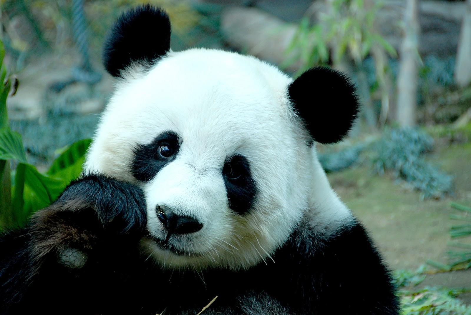 Este hombre considera que debido al peculiar sistema - Image de panda a imprimer ...