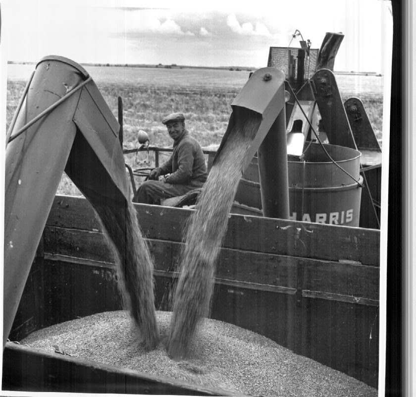 Saskatchewan wheat harvest, 1950's