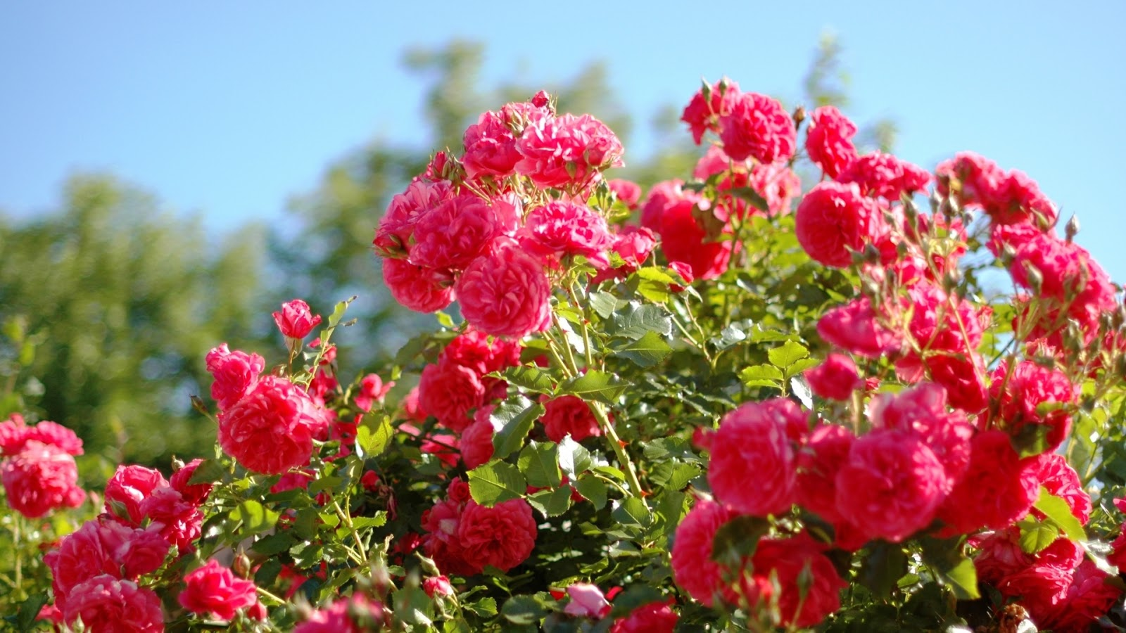 Rose flower garden flower hd wallpapers images for Garden flower