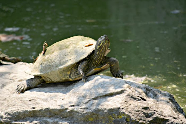 Brooklyn.Botanical.Garden.Pond.Turtle