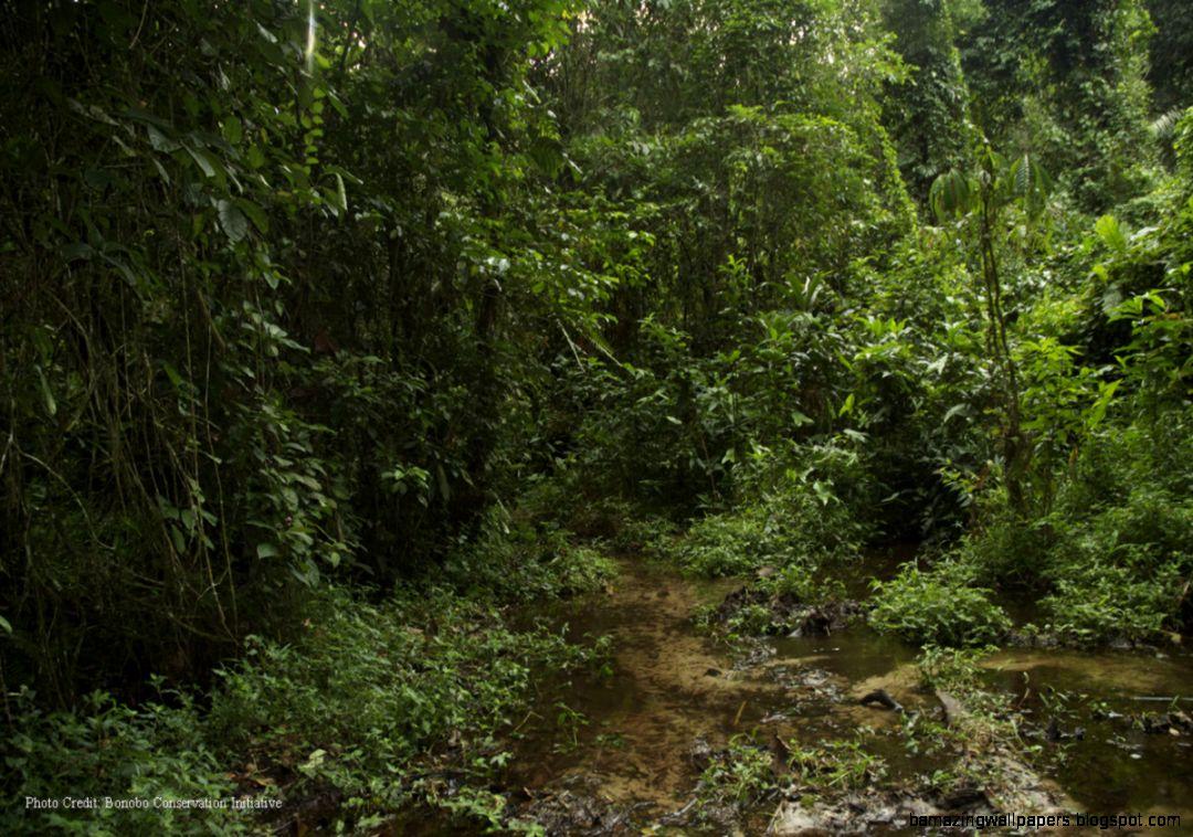 Bonobo Conservation Initiative » Preserving Rainforest