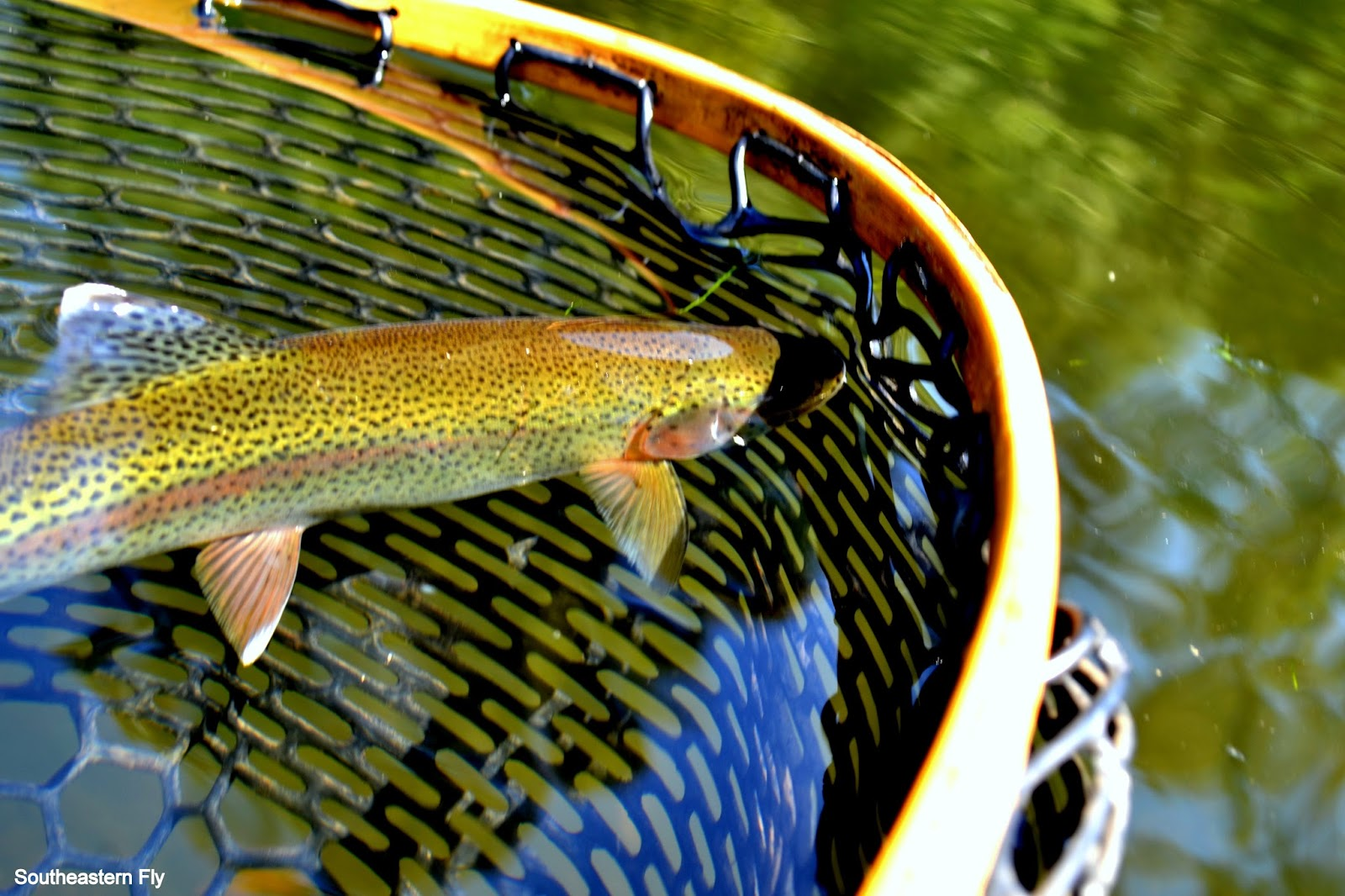Southeastern fly tennessee fly fishing for Tennessee trout fishing