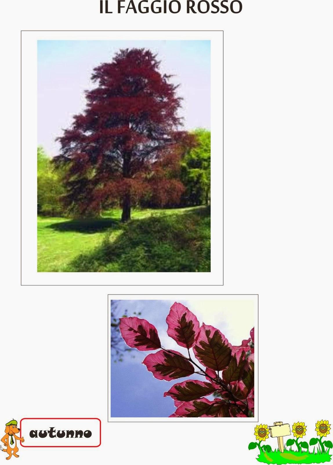 A scuola con poldo il faggio rosso for Foto di alberi da colorare